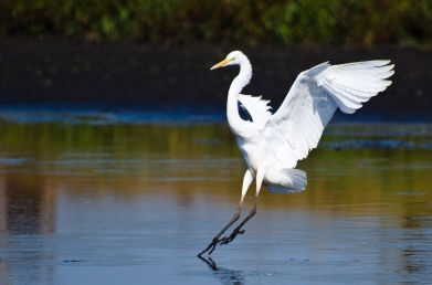 Great Egrets Landing in Shallow Water